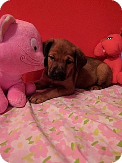 Pug/Beagle Mix Puppy for adoption in Duart, Ontario - Albany