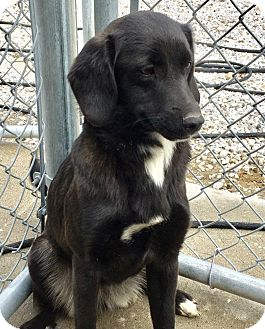 Labrador Retriever/Spaniel (Unknown Type) Mix Dog for adoption in West Milford, New Jersey - JALISA-pending