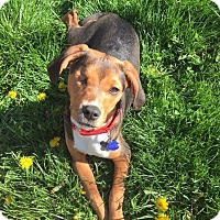 Adopt A Pet :: Bagel- ADOPTION PENDING - Warrenville, IL