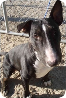 Bull Terrier Dog for adoption in Los Angeles, California - Harley