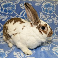 Adopt A Pet :: Coco - Chesterfield, MO