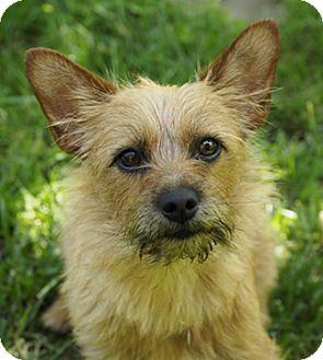 Australian Terrier/Cairn Terrier Mix Dog for adoption in Pt. Richmond, California - TORY