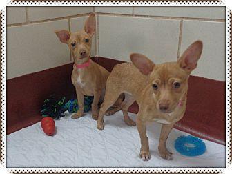 Chihuahua Mix Puppy for adoption in Marietta, Georgia - DIAMOND and PEARL