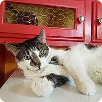 Domestic Shorthair Cat for adoption in Edmond, Oklahoma - Buddy