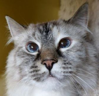 Siamese/Domestic Longhair Mix Cat for adoption in Verona, Wisconsin - Willow