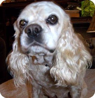 Cocker Spaniel Dog for adoption in Anderson, South Carolina - Freckles