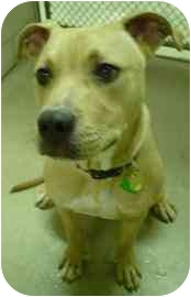 American Pit Bull Terrier Mix Puppy for adoption in Walker, Michigan - Bromley aka Jack