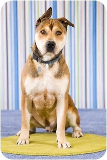 Akita/Labrador Retriever Mix Dog for adoption in Portland, Oregon - Oliver