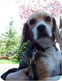 Beagle Dog for adoption in Portland, Ontario - Ralph