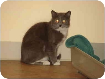 Russian Blue Cat for adoption in Youngwood, Pennsylvania - Speedy