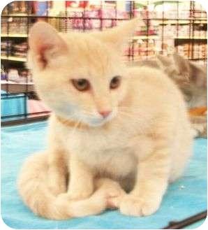 Domestic Shorthair Kitten for adoption in Reston, Virginia - Fitzy