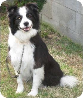 Border Collie Dog for adoption in San Pedro, California - CARLY