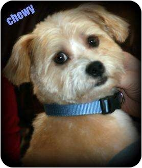 Shih Tzu/Norfolk Terrier Mix Dog for adoption in mishawaka, Indiana - Chewy PENDING