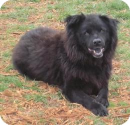 Chow Chow/Labrador Retriever Mix Dog for adoption in Rustburg, Virginia - Buddy