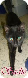Domestic Shorthair Cat for adoption in Georgetown, South Carolina - Sadie