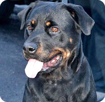Rottweiler Dog for adoption in Rexford, New York - Uma