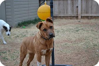 Shar Pei Mix Dog for adoption in Clovis, New Mexico - Sasha