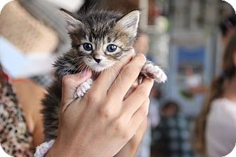 Domestic Longhair Kitten for adoption in Glendale, California - Brownie