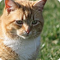 Domestic Shorthair Cat for adoption in Maxwelton, West Virginia - whitney