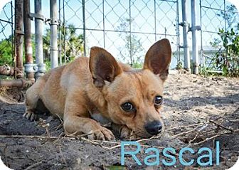 Jack Russell Terrier/Chihuahua Mix Dog for adoption in Myakka City, Florida - rascal