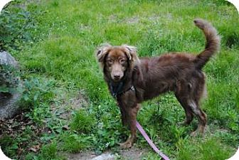 Collie/Redtick Coonhound Mix Dog for adoption in Gloucester, Massachusetts - Diega