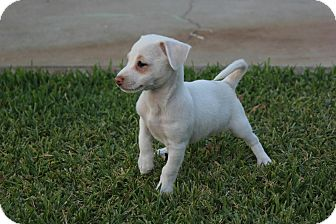 Terrier (Unknown Type, Small) Mix Puppy for adoption in Rancho Cucamonga, California - Opal