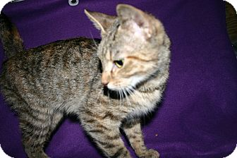 Domestic Shorthair Cat for adoption in Simcoe, Ontario - Tiki