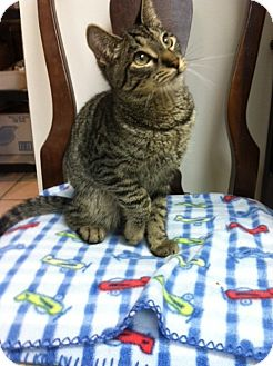 Domestic Shorthair Kitten for adoption in Trevose, Pennsylvania - Marble