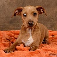 Adopt A Pet :: Little Man (Chestnut) - Henderson, NV