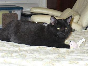 Domestic Shorthair Cat for adoption in Houston, Texas - Sami