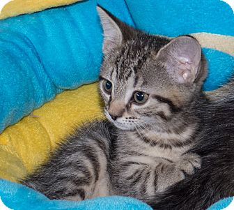 Domestic Shorthair Kitten for adoption in Elmwood Park, New Jersey - Suger