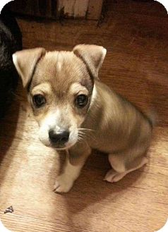 Rat Terrier/Terrier (Unknown Type, Small) Mix Dog for adoption in WAGONER, Oklahoma - Kaden