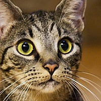 Manx Cat for adoption in Durham, North Carolina - Pumbaa