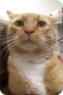 Domestic Shorthair Cat for adoption in Island Heights, New Jersey - simon