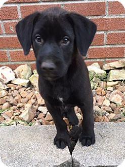 Labrador Retriever Mix Puppy for adoption in Hamburg, Pennsylvania - Jack