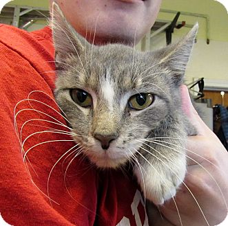 Domestic Shorthair Cat for adoption in Grinnell, Iowa - DaVinci