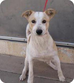 American Eskimo Dog/Australian Cattle Dog Mix Dog for adoption in Stillwater, Oklahoma - Joker