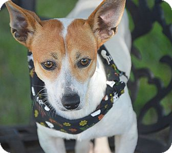 Jack Russell Terrier Mix Dog for adoption in San Leon, Texas - Jack