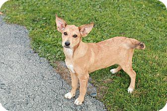 Labrador Retriever/Fox Terrier (Smooth) Mix Puppy for adoption in Portage, Michigan - Bambi