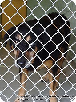 German Shepherd Dog/Bernese Mountain Dog Mix Dog for adoption in Brooksville, Florida - ANGEL