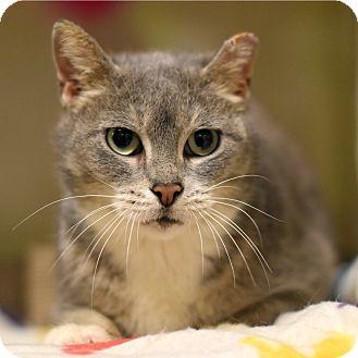 Domestic Shorthair Cat for adoption in Chicago, Illinois - Diamond