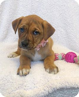 Boxer/Labrador Retriever Mix Puppy for adoption in Newark, Delaware - Iris