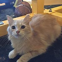 Domestic Mediumhair Kitten for adoption in Wichita Falls, Texas - Eris