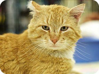 Domestic Shorthair Cat for adoption in Great Falls, Montana - Graham Cracker