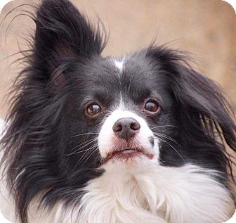 Papillon Mix Dog for adoption in Coopersburg, Pennsylvania - Sonny