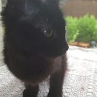 Adopt A Pet :: Harriet - Frisco, TX