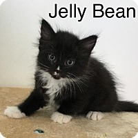 Adopt A Pet :: JellyBean - Naugatuck, CT