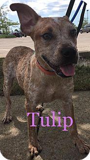 Australian Cattle Dog/Boston Terrier Mix Puppy for adoption in Sugar Grove, Illinois - Tulip