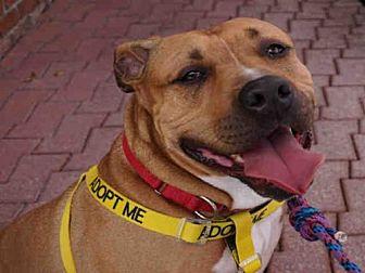 American Pit Bull Terrier Dog for adoption in Atlanta, Georgia - MONEY