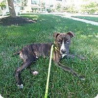 Adopt A Pet :: Kovu - Columbus, OH